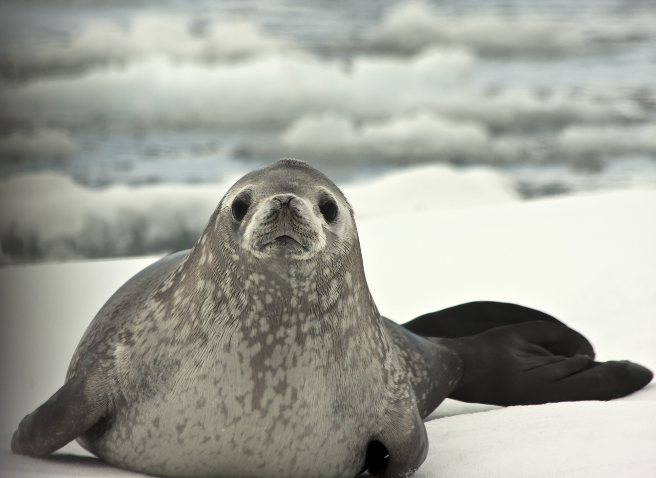 Image Result For About Antarctica Penguins
